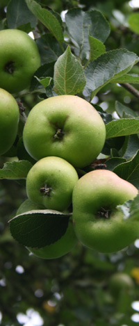bramley apples for apple sauce